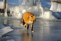 Red fox (Vulpes vulpes) walks along edge of frozen lake.  Winter.