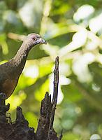 Sickle-winged guan, Chamaepetes goudotii fagani. Refugio Paz de las Aves, Ecuador
