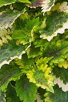 Solenostemon (Coleus) 'Nettie', annual foliage plant in green and yellow
