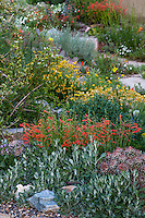 Penstemon pinnifolius flowering in David Salman New Mexico xeric rock garden with Eriogonum and Hymenoxis