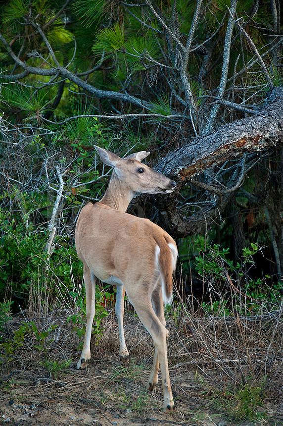 Deer, Outer Banks, North Carolina, USA