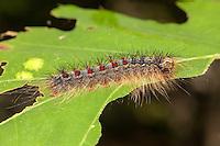 A Gypsy Moth (Lymantria dispar) caterpillar (larva) perches on a partially eaten oak tree leaf.