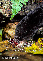 MB11-001z   Star-nosed Mole - drinking from pool - Condylura cristata