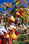 Austria, Styria, ripe pears, tree