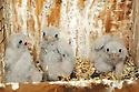 00698-004.08 American Kestrel (DIGITAL) Three downy young are in nesting box.  Falcon, predator, bird of prey, bird, birding.  H3E1