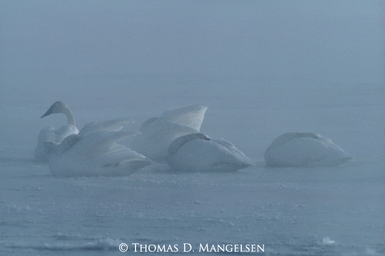 Trumpeter swans tuck their heads under their wing for warmth during a winter storm.
