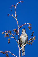 Lincoln's Sparrow, Melospiza lincolnii, male singing in Alder tree,Rocky Mountain National Park, Colorado, USA, June 2007