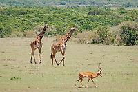 Masai giraffe, Giraffa camelopardalis tippelskirchii, and impala, Aepyceros melampus, Masai Mara, Kenya, Africa