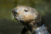 Southern Southern sea otter, Enhydra lutris nereis, female periscoping, Monterey, California, USA, Pacific Ocean, national marine sanctuary, endangered species