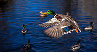 Fine Art Photograph of a Mallard duck in flight with his wings spread out. The textured lighting brought out the beautiful colours of the blue wings, green head, yellow beak, and orange feet of this duck. <br />