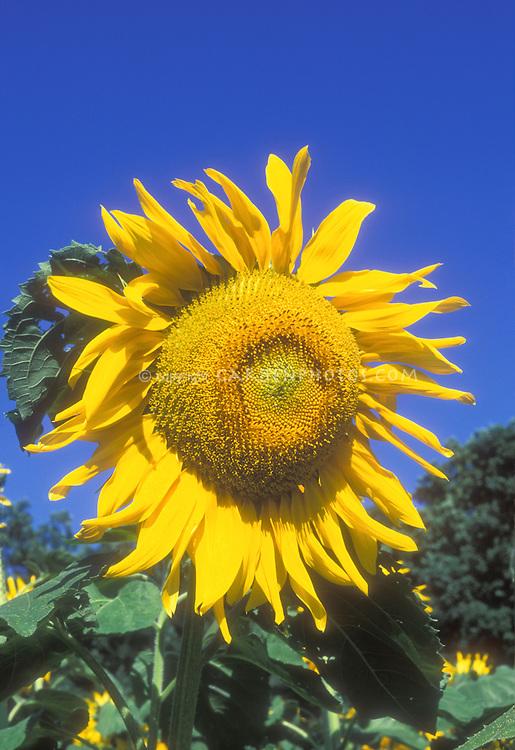 Large Sunflower head Helianthus annuus 'Mammoth' in bloom in summer