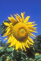 Large Sunflower head Helianthus annuus 'Mammoth' in bloom in summer