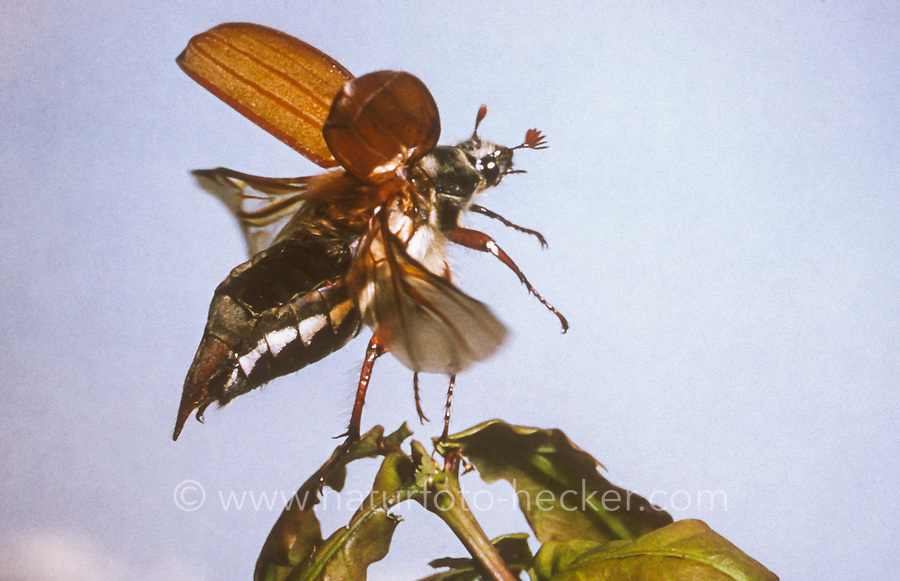 Maikäfer, beim Abflug, abfliegend, Flug, fliegend, Gemeiner Maikäfer, Feld-Maikäfer, Feldmaikäfer, Mai-Käfer, Melolontha melolontha, frisst an Eiche, maybeetle, may-beetle, common cockchafer, maybug