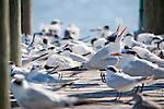 Captiva Island, Florida; a Royal Tern (Thalasseus maximus) bird vocalizes, beak open, on a wooden pier with other Royal Tern and Sandwich Tern (Thalasseus sandvicensis) birds © Matthew Meier Photography, matthewmeierphoto.com All Rights Reserved