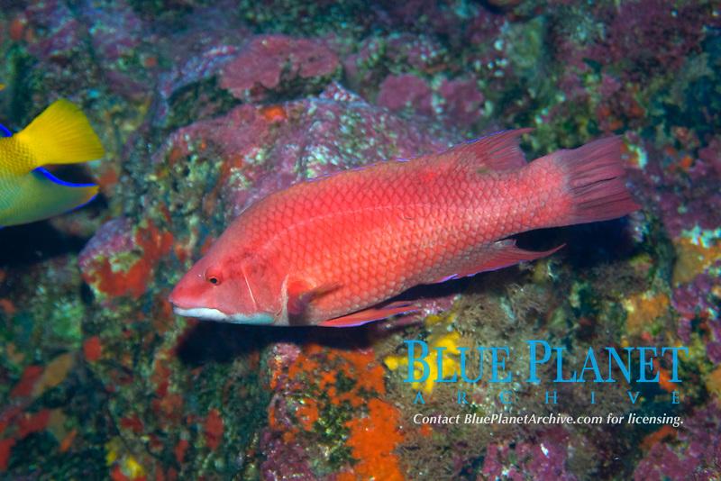 Island hogfish , Bodianus insularis, St. Peter and St. Paul's rocks, Brazil, Atlantic Ocean