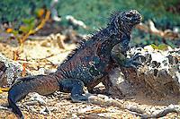 Animais. Reptis. Iguana (Conolophus subcristatus). Galápagos. Foto de Juca Martins.