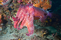 Giant cuttlefish, Sepia apama, Merimbula, NSW, Australia.
