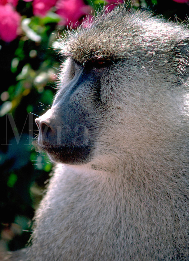 African, wild animal. Close up of a black faced Baboon that adopts a semi-human serious expresion while posing for the camera. Kenya.