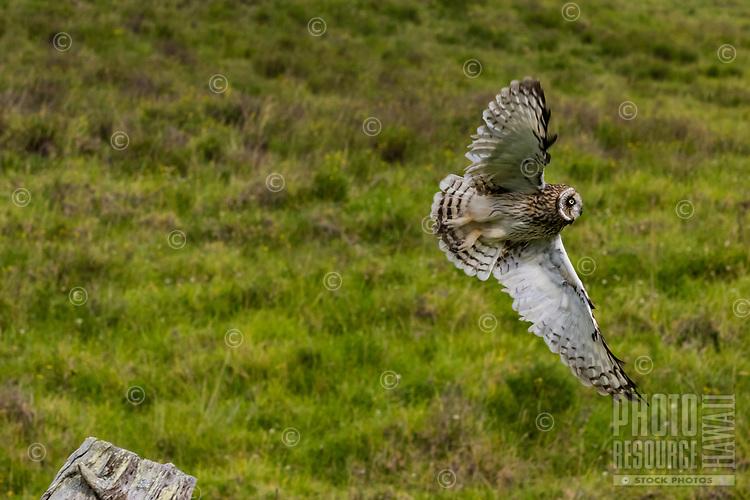 A pueo (Hawaiian short-eared owl) takes flight over a grassy field, island of Hawai'i.