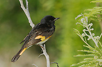 American Redstart (Setophaga ruticilla), male, South Padre Island, Texas, USA, May 2005