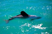 Endemic Hector's Dolphin, Cephalorhynchus hectori, Kaikoura Pennisula, South Island, New Zealand, Pacific Ocean
