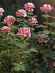 Moon Shadow Rose, Rosa hybrid tea