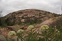 Antelope horn milkweed, Enchanted Rock State Park