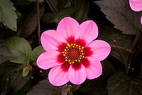 Dahlia 'Happy Single Wink' pink and red flowers  with dark black foliage