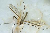 Kohlschnake, Kohl-Schnake, Tipula oleracea, crane fly, crane-fly, Schnaken, Tipulidae, crane flies, crane-flies, daddy-long-legs