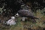 A Peregrine Falcon feeding its chicks.
