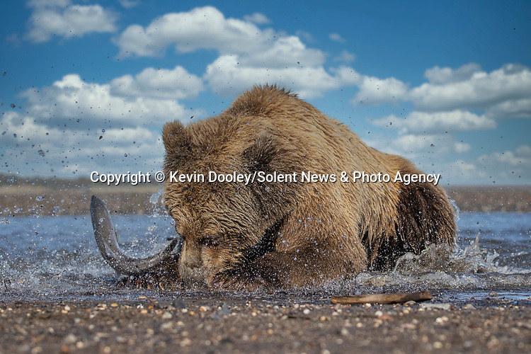 Pictured: The bear pounces on the fish close to the shore edge, but it thrashes free.  Sequence 6 of 10.<br /> <br /> A brown bear struggles to catch a thrashing salmon as the fish tries to escape its deadly paws.  The fish are a vital part of this young male's diet, providing up to nine pounds of fat each day which is necessary to survive the harsh Alaskan winter.<br /> <br /> Though the fish often slip away, this one was caught by the bear on his second attempt.  The photographs were taken by professional wildlife photographer Kevin Dooley in Southwest Alaska, in the United States.  SEE OUR COPY FOR DETAILS.<br /> <br /> Please byline: Kevin Dooley/Solent News<br /> <br /> © Kevin Dooley/Solent News & Photo Agency<br /> UK +44 (0) 2380 458800
