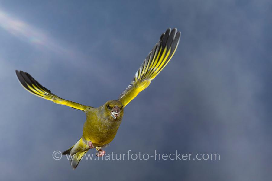 Grünfink, Grünling, Männchen, im Flug, Flugbild, fliegend, mit Vogelfutter im Schnabel, Grün-Fink, Chloris chloris, Carduelis chloris, greenfinch, male, flight, Verdier d'Europe