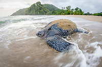 leatherback sea turtle, Dermochelys coriacea, female, returning to the ocean after nesting and laying eggs, at sunrise, Grand Riviere, Trinidad, Trinidad and Tobago, Caribbean Sea, Atlantic Ocean