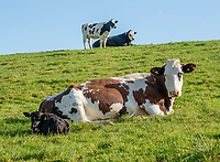 Dairy cow and calf on a dairy farm, Castle Douglas, Dumfries and Galloway, Scotland.