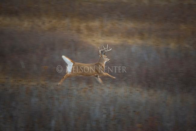 Running Whitetail buck in Montana