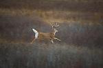 Running Whitetail buck in Montana