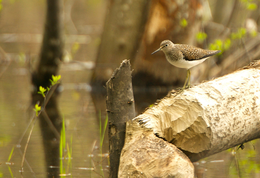 A beautiful and hard to sneak up on Solitary Sandpiper stands atop a fresh beaver chew in a White Mountain wetland.