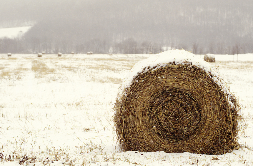 Hay in Wintertime Snow. Barrel of Hay covered in snow.