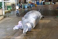 Baird's beaked whale, Berardius bairdii, male, Wadaura, Boso Peninsula, Japan, Pacific Ocean