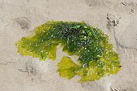 "Meersalat, Meerlattich, Meer-Salat, ""Fischersalat"", abgerissener Thalli im Spülsaum, Angespül, Ulva lactuca, Grünalge, Sea lettuce"