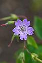 Geranium nodosum, mid June.