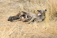 Spotted Hyena (Crocuta crocuta), adult female, yawning, suckling young, Kruger National Park, South Africa, Africa