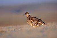 Male Greater Prairie-Chicken. Ft. Pierre National Grassland, South Dakota. April.
