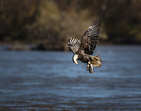 Adult Bald Eagle with fish in talons, lifting off from water, looking down at fish