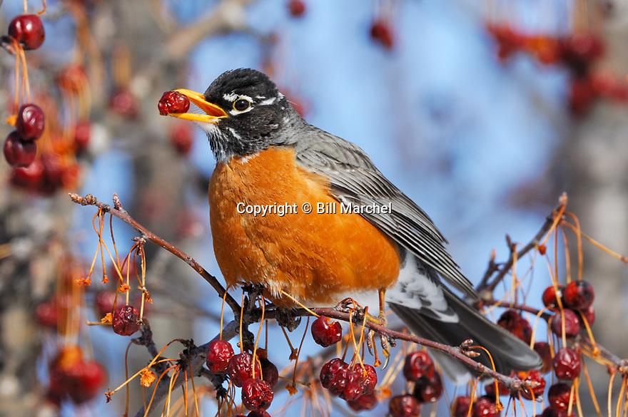 00980-019.10 American Robin is feeding on crab apples.  Landscape, orange, bird, birding, fruit, food, eat, survive.