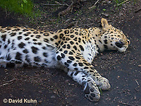 0309-1101  Amur Leopard, Panthera pardus orientalis  © David Kuhn/Dwight Kuhn Photography