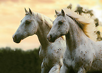 Appaloosa stallions run together at dusk.