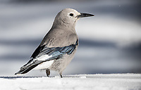 This trip afforded me some good opportunities to photograph a number of bird species either for the first time or at least better than before. Among them, the Clark's Nutcracker.