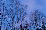 Birch trees and a crescent moon in Hancock County, ME, USA