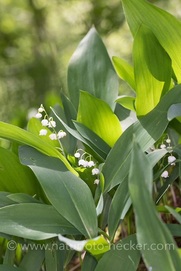 Gewöhnliches Maiglöckchen, Mai-Glöckchen, Convallaria majalis, Life-of-the-Valley, Lily of the valley, Muguet, muguet de mai